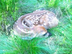 Hjortkid fotograferad vid eftersök 16.6.13
